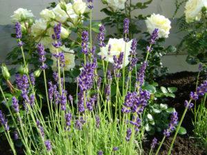 Zorg voro kleur in de tuin, laat u adviseren door hoveniers Spruit en van der Velde in Zoetermeer